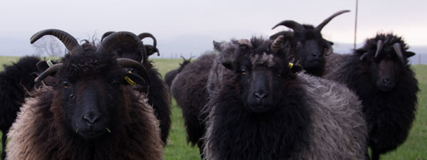 Hebridean Sheep at Cormiston Farm