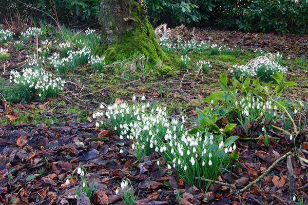 Snowdrops and Hellebore in February